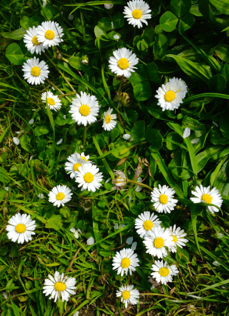 Daisies in Norfolk