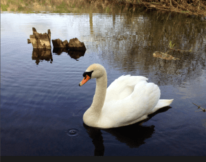 Swanning Around during my Norfolk House Sit