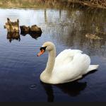 Swan on River Bure Norfolk