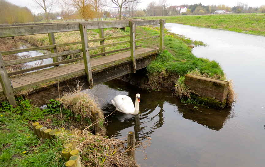 Swan on River Bure Norfolk