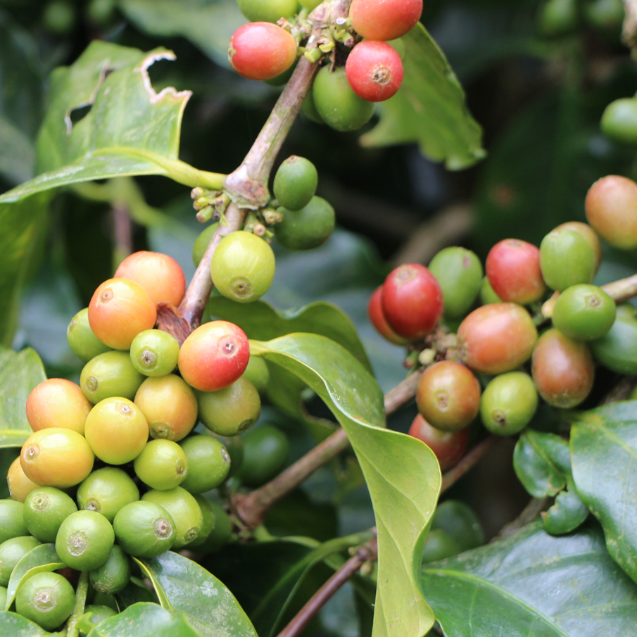 Coffee Cherries Ripening on the Branch