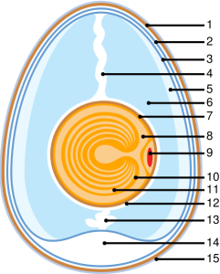 Anatomy of an Egg - Wikipedia