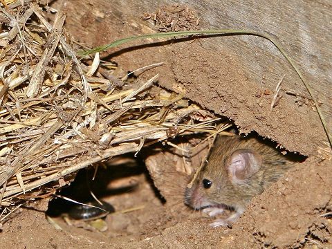 Field mouse - Wikipedia