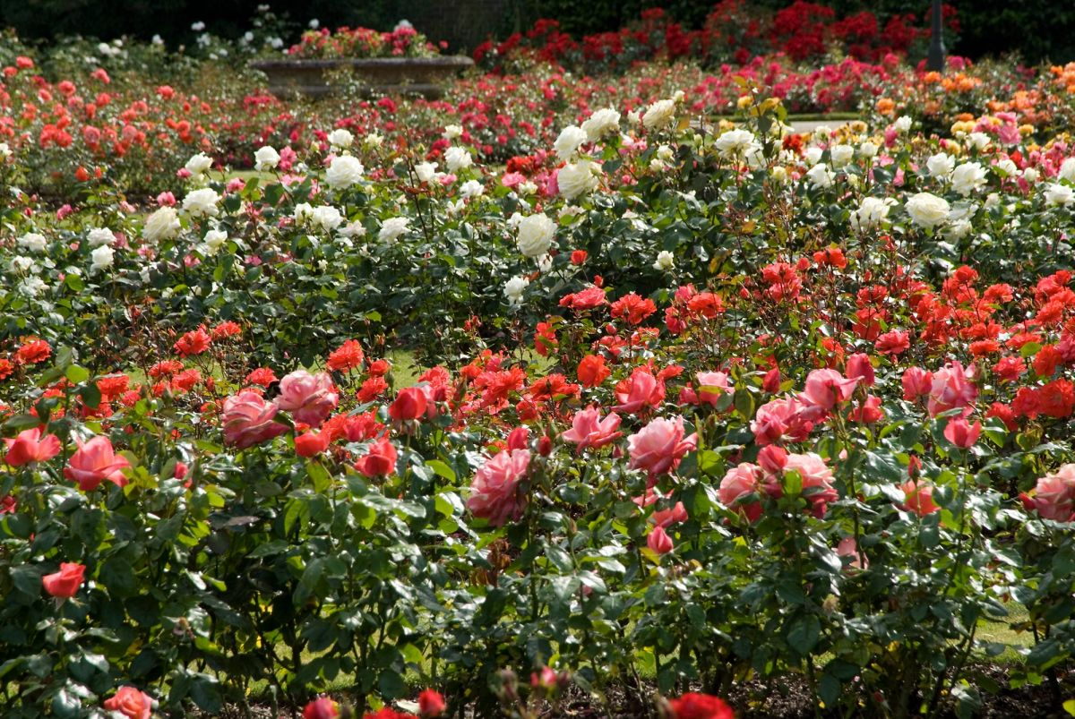 The Rose Garden  Greenwich Park  The Royal Parks