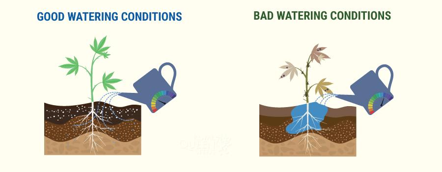 大麻にどれだけ水をやる必要がありますか?