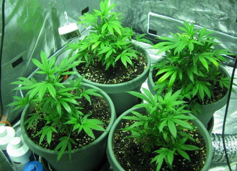 Marijuana intérieure
