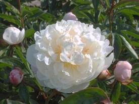 Pioen Gardenia