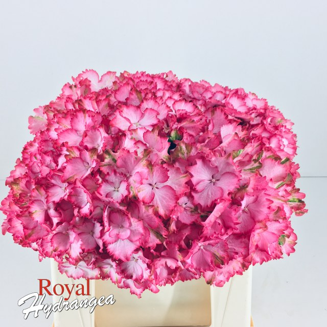 Royal Hydrangea Magical Colour Dream