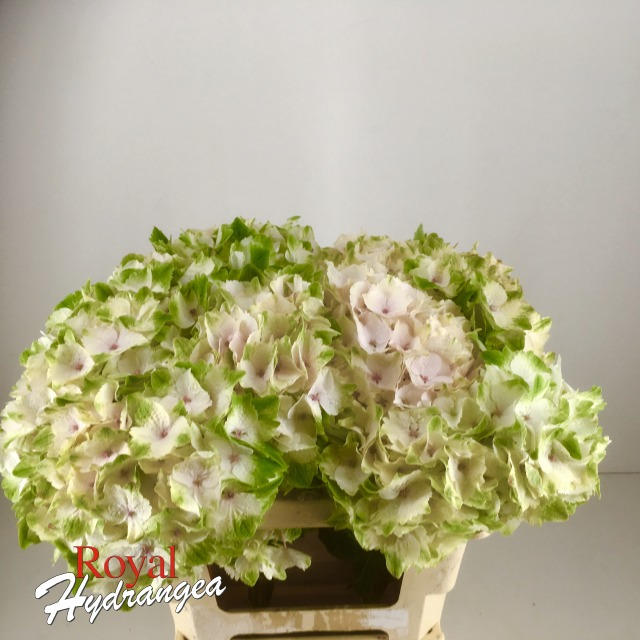 Royal Hydrangea - Magical Emerald Classic