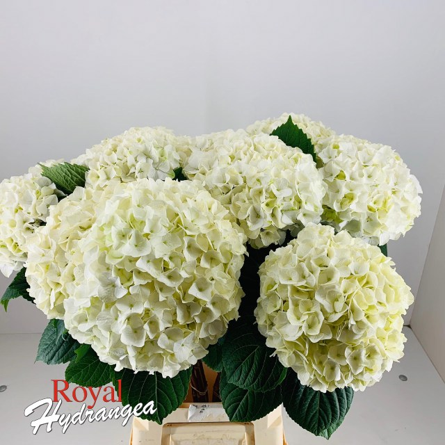 Royal Hydrangea Magical Pearl
