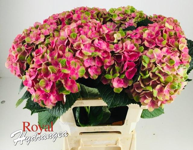 Coral - Snij Hortensia - Royal Hydrangea