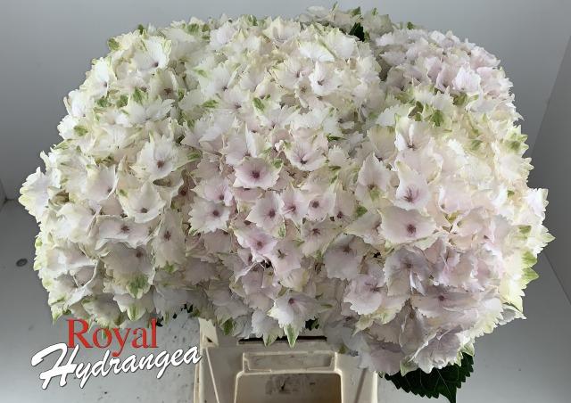 Emerald - Snij Hortensia - Royal Hydrangea
