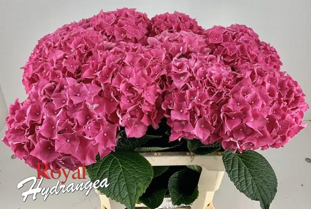 Rodeo - Snij Hortensia - Royal Hydrangea