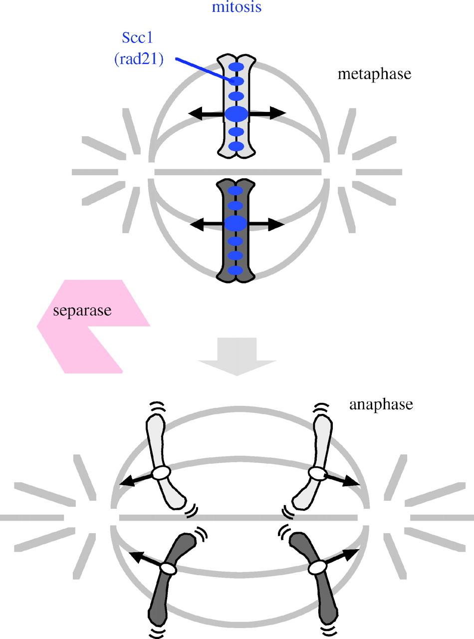 Shugoshin protects cohesin complexes at centromeres