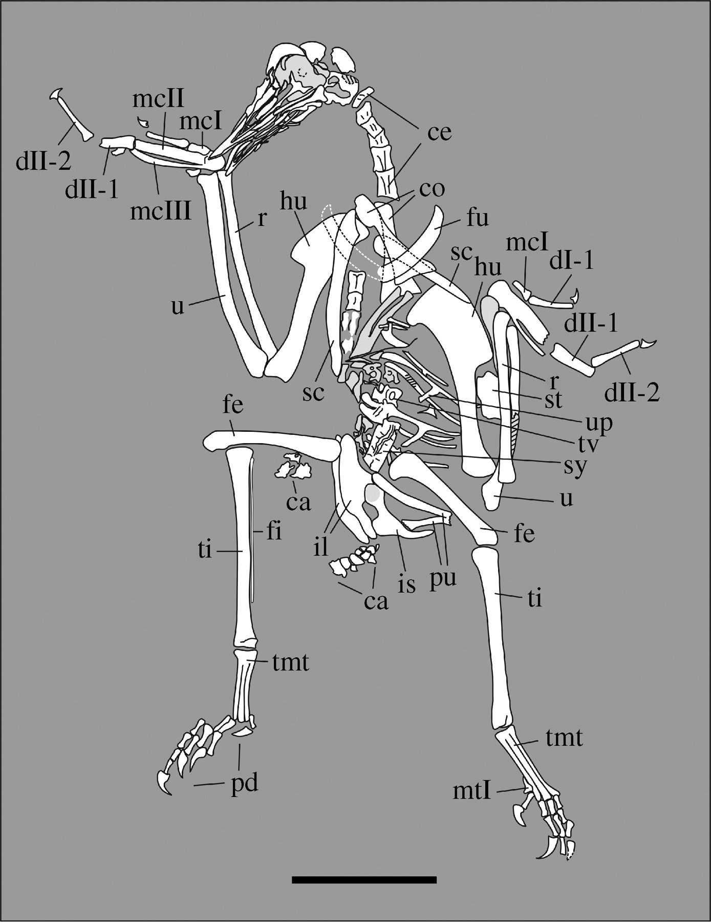 A New Lower Cretaceous Bird From China And Tooth Reduction