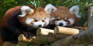 La sortie des bébés Panda roux
