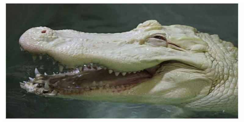 Alligator Albinos
