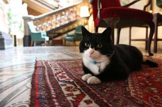 Kocour Palmerston