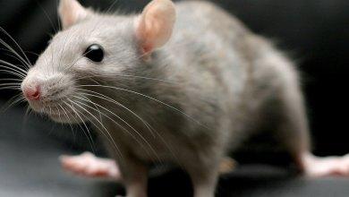 Pequeno ratinho branco - Imagem do Tarrasque na Bota 15 - A mina perdida de Phandelver - Episódio 15 - Pequeno Stuart