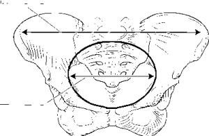 Diagram Of Pelvic Cavity, Diagram, Free Engine Image For