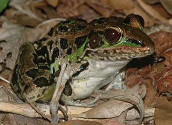 The leopard frog, a species in decline