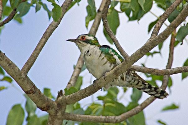 Dideric-Cuckoo-0010