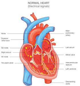 Normal-heart-1-955x1024