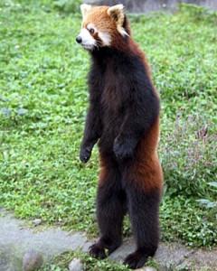 red-panda-standing