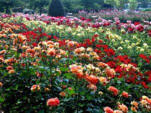 beautiful-rose-garden-wallpaper-decorating-ideas-1