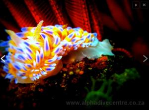 Gasvlam nudibranch