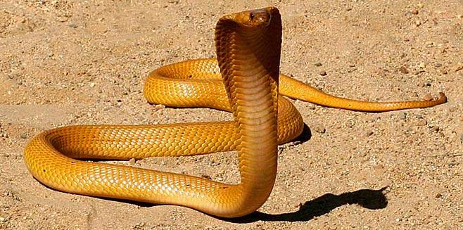 Die Kaapse Kobra kan geel of bruin wees en sy gif is neurotoksies wat baie gou tot asemhalingsprobleme kan lei.