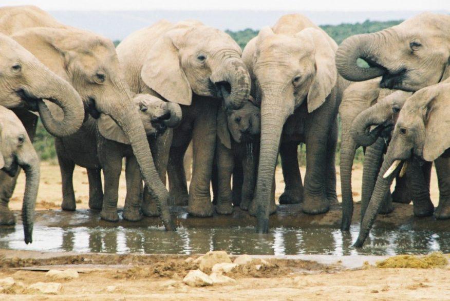 olifante