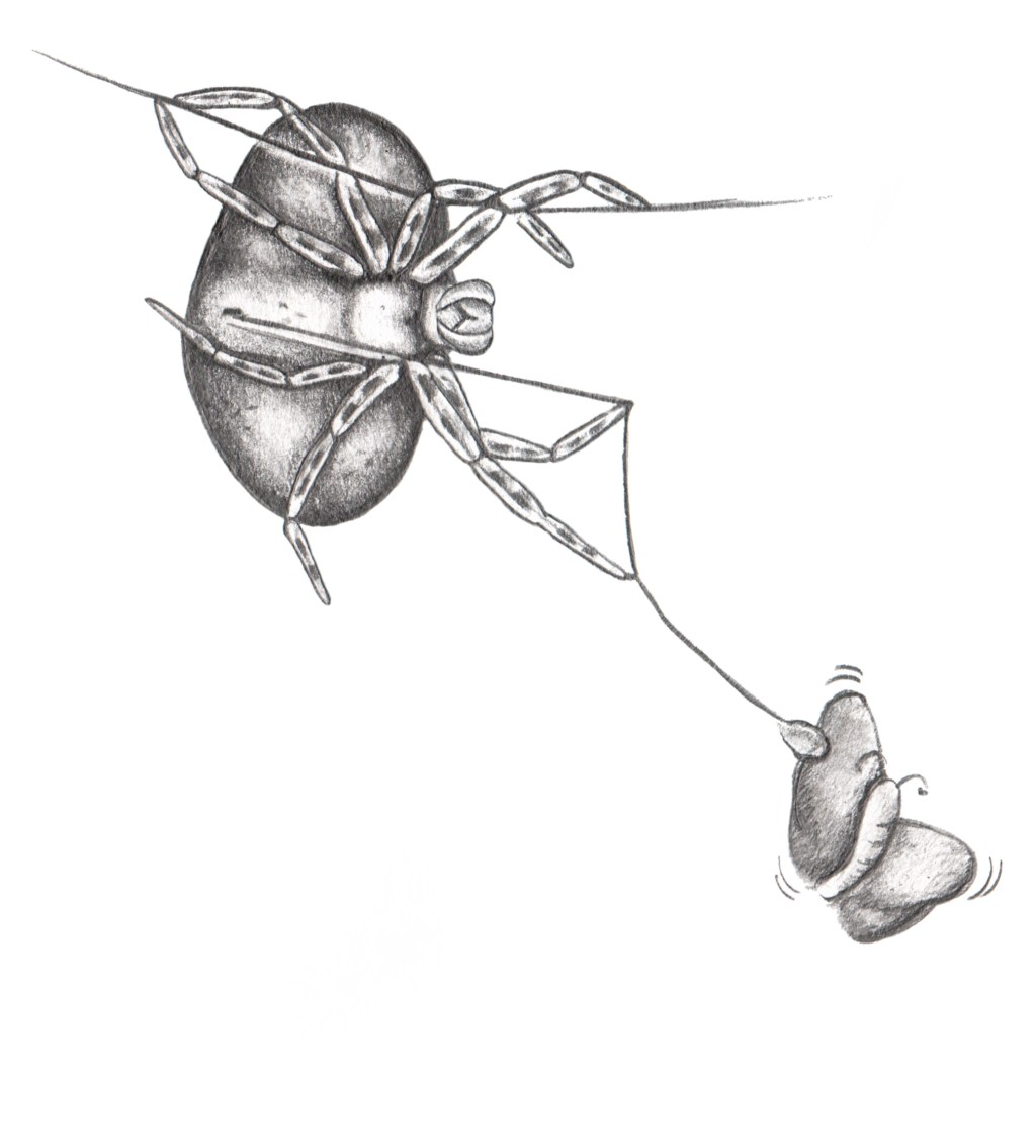 Oor krimpvarkie- en Afika Bolas-spinnekoppe