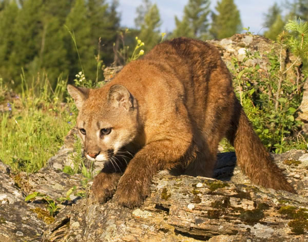 Image result for juvenile mountain lion