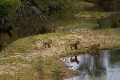 Junge Löwen am Sabie River