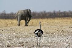Elefant und Strauß