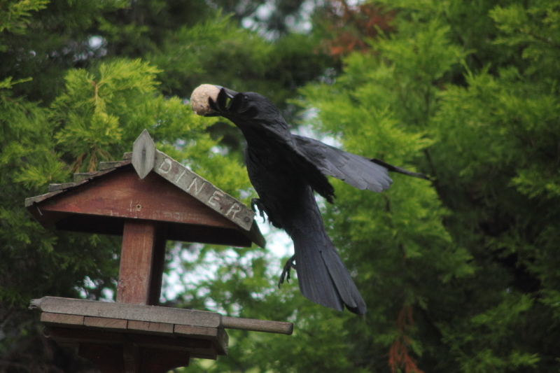 Image result for image crow bird table