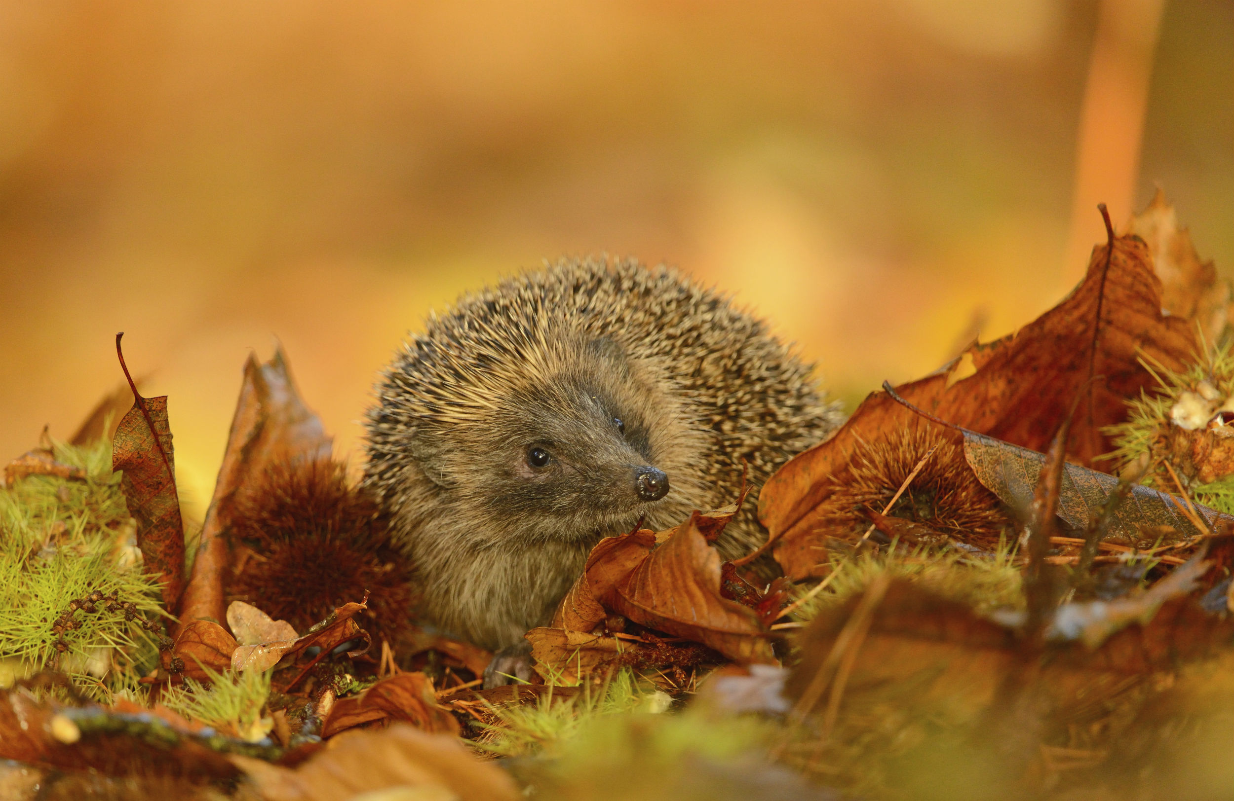 Free Fall Cat Wallpaper Homes For Hedgehogs The Rspb