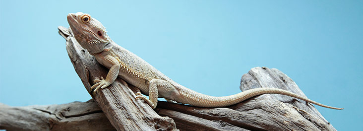 bearded dragon care including diet set