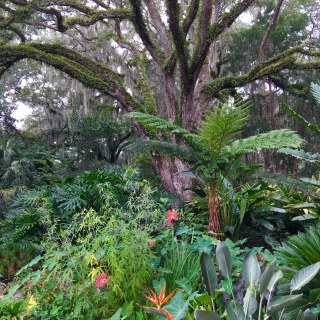 A Giant Oak with Resurection Fern