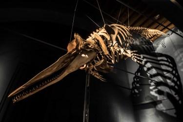 Scheletro di balena preistorica, Museo di Scienze Naturali E. Caffi