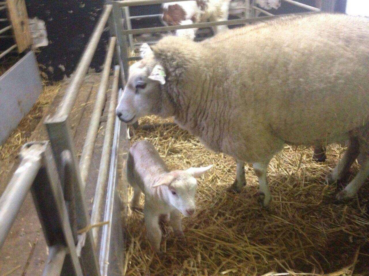 Eerste lammetje geboren op Zorgvrij