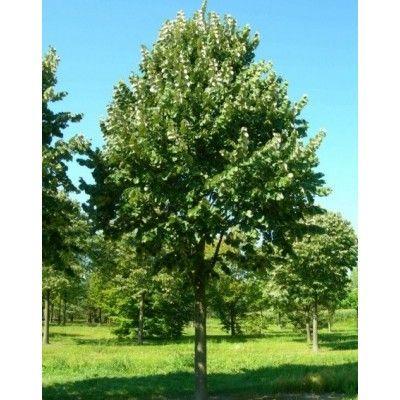Nieuwe bomen Van den Vondellaan