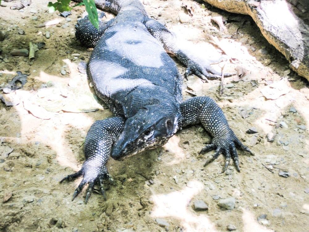 Underground River Monitor Lizard