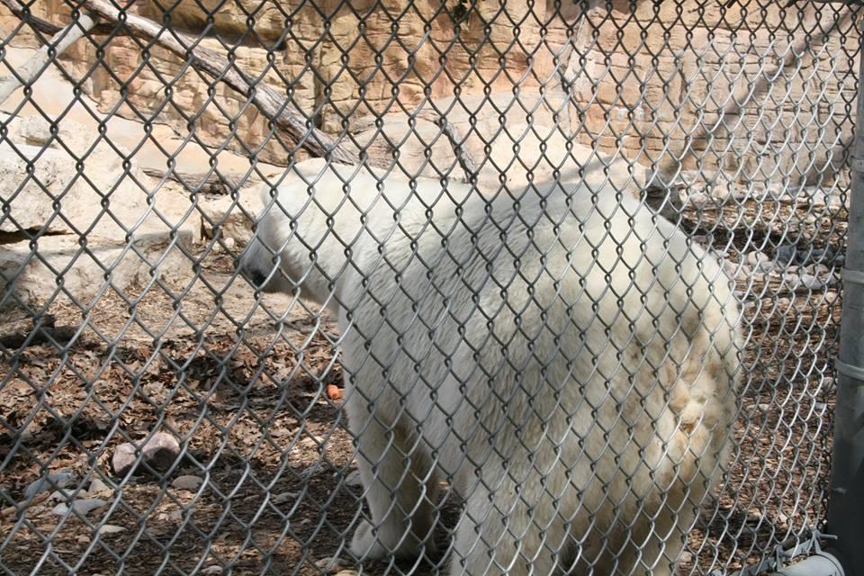 Polar Bear Winnipeg Assiniboine Zoo