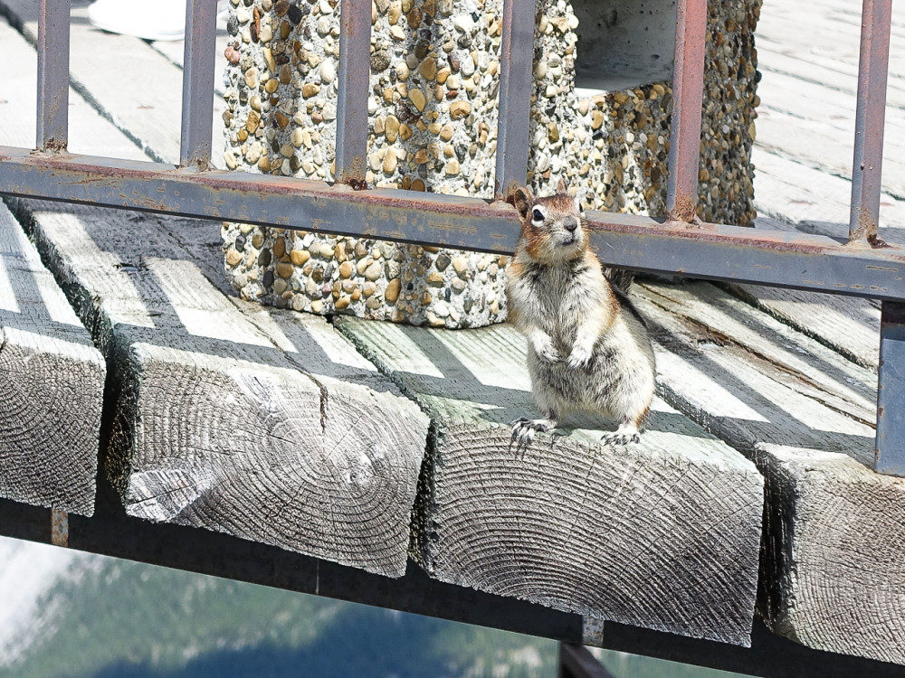 Chipmunk at Banff Gondola