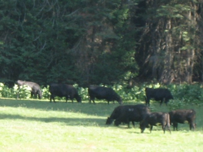 Cows in the meadow, summer 2015.