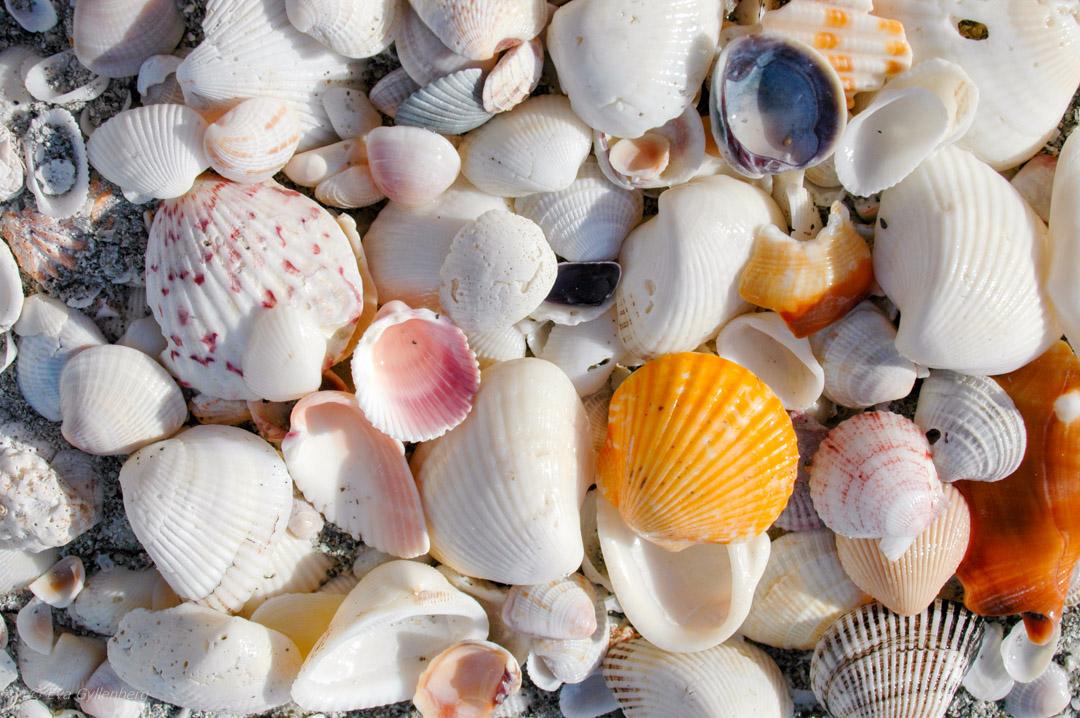 Snäckor på stranden på Sanibel, Florida
