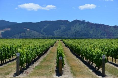 Nya-Zeeland-Marlborough-vingard