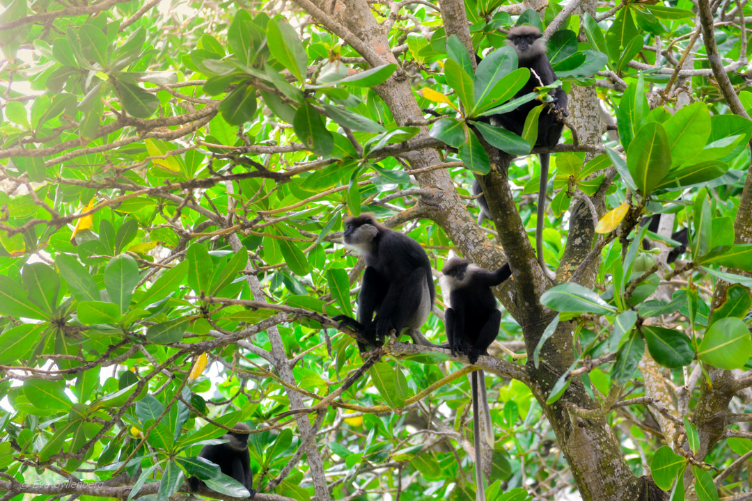 Apor i träden på Heritance Ahungalla